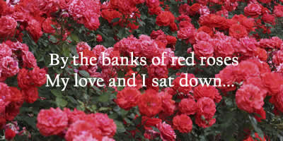 by the banks of red roses